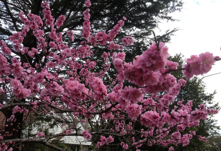 CherryBlossom (Medium)